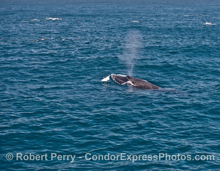 More head-first wave bustin' by a humpback whale.