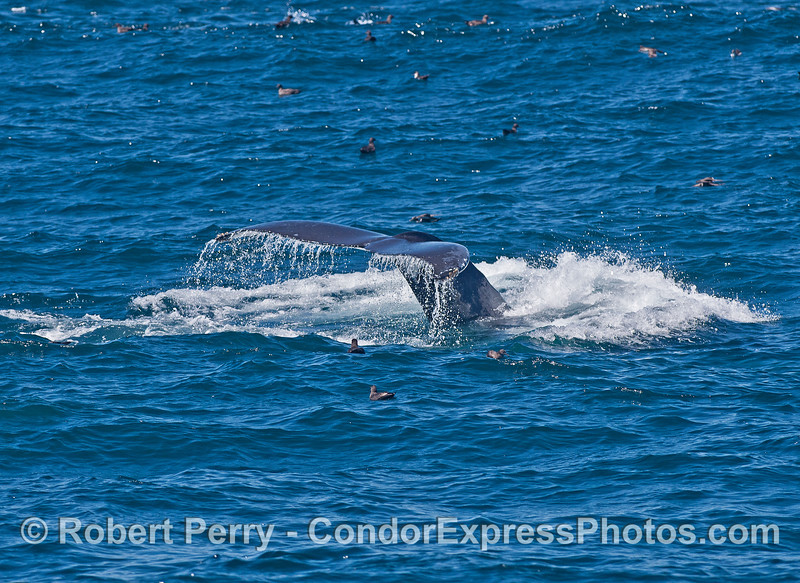 Humpback tail flukes with sooty shearwaters all around.