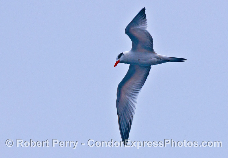 An elegant tern keeps its eyes on the ocean surface looking for anchovies.