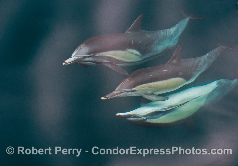 Three long-beaked common dolphins - the male is upside down.