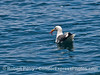 Western gull feeding on a pelagic red crab.