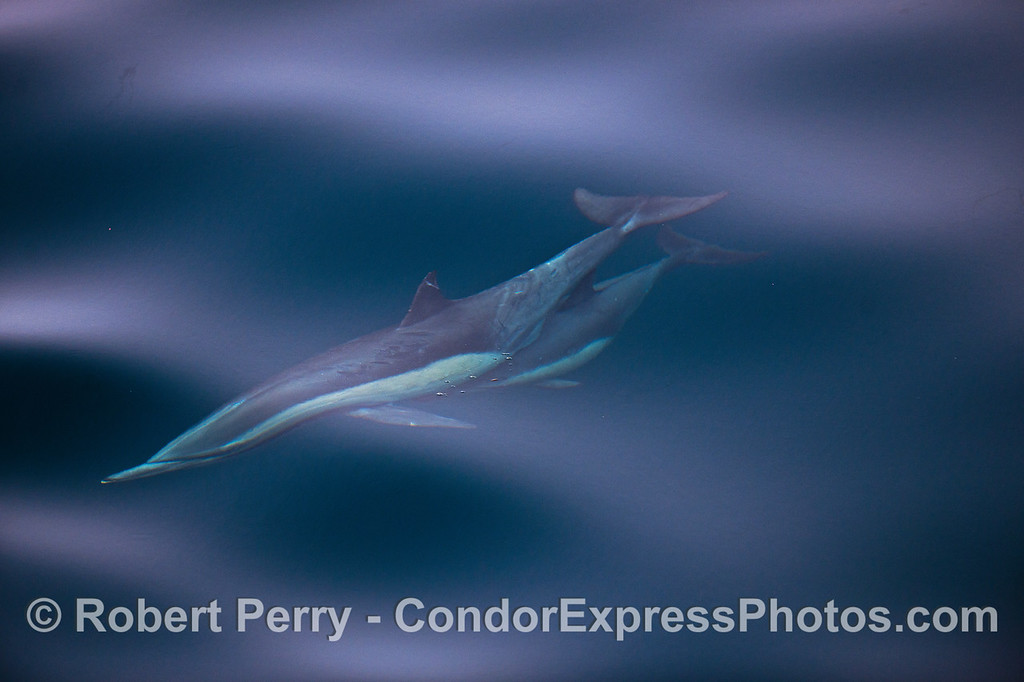 A long-beaked common dolphin calf tucks in behind mom's abdomen and uses the slip stream to save swimming energy.