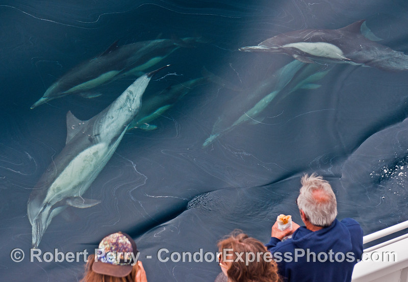 People watch long-beaked common dolphins watching them.  Natural oil seepage patterns are on the surface.
