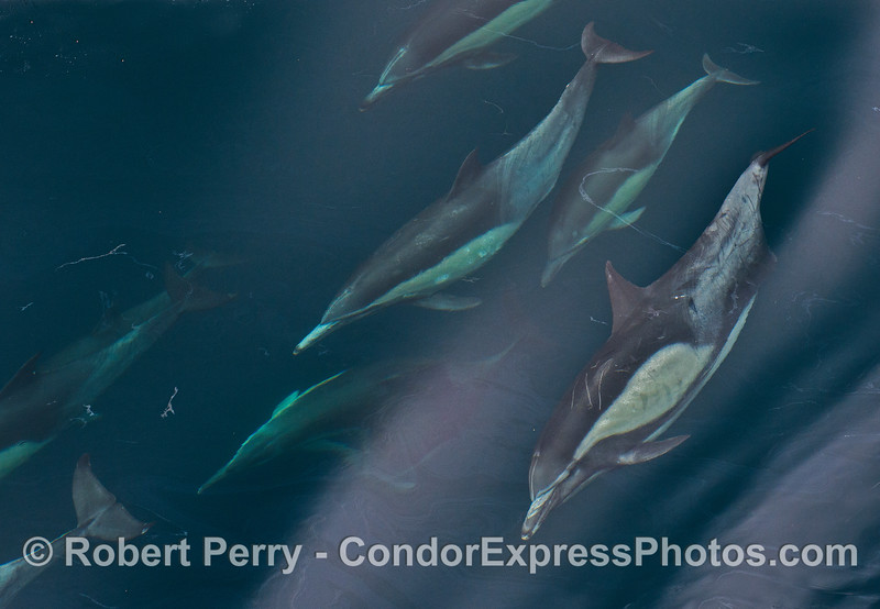 A group of  long-beaked common dolphins with natural oil seepage patterns on the surface.