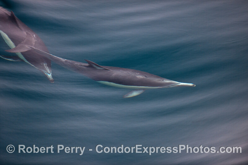 Two  long-beaked common dolphins.
