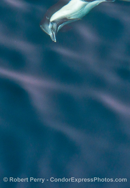 Coming in from the top - a long-beaked common dolphin.