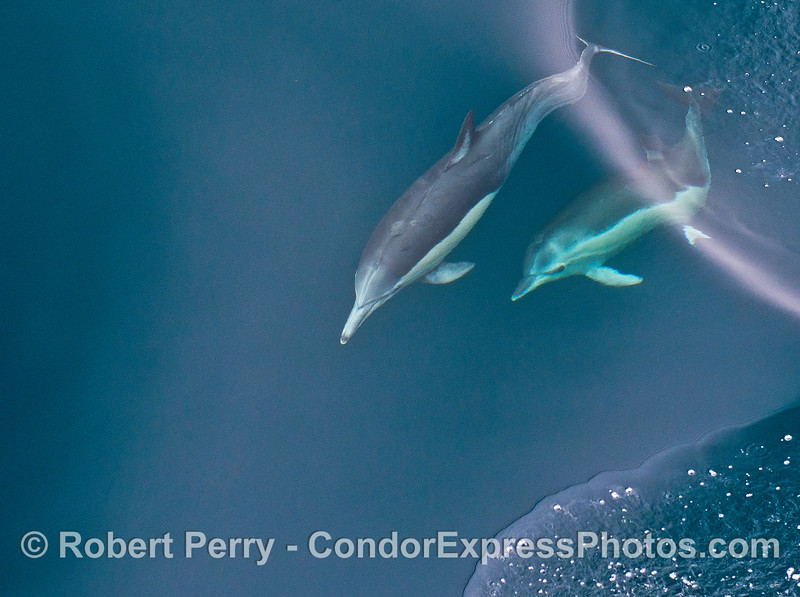 Long-beaked common dolphins - mother and her calf.