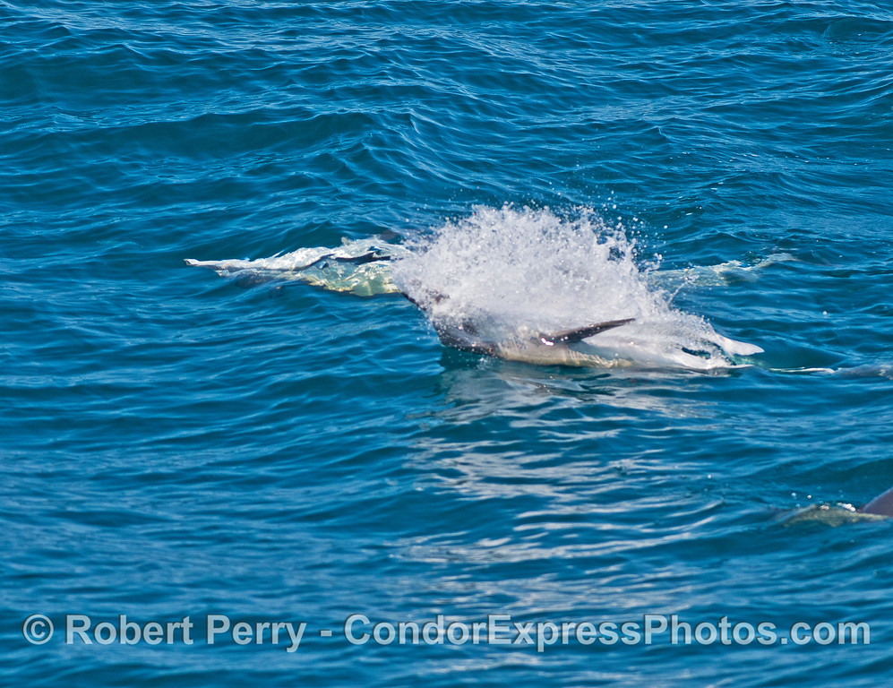 Long-beaked common dolphin - upside-down feeding.