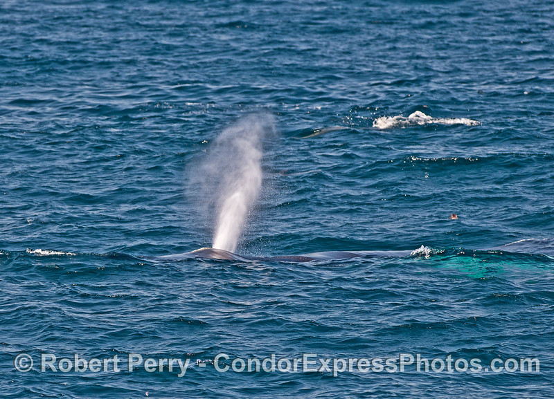"""Humpback whale with white pectoral fins (""""whitey-pecs"""") swims towards the camera."""