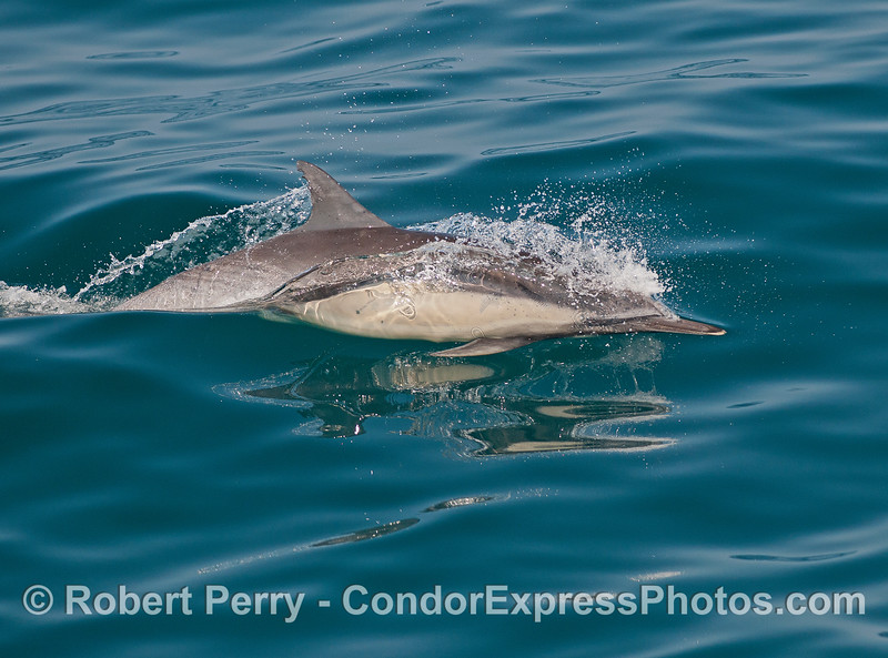 Long-beaked common dolphin gliding across the glass.