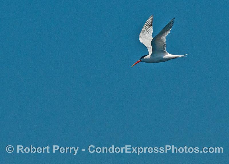 Elegant tern - eyes on the water below.