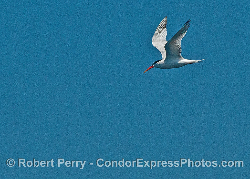 Elegant tern - eyes on the water below.