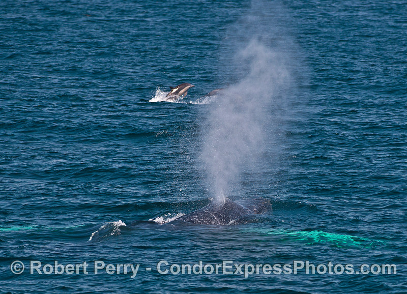 A whitey-pecs humpback sends up a tall spout as common dolphins leap in the background.