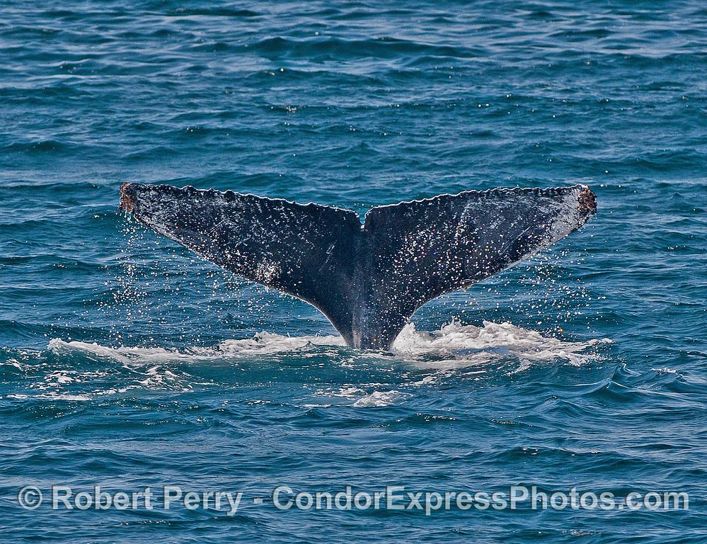 Signature tail flukes - humpback whale.