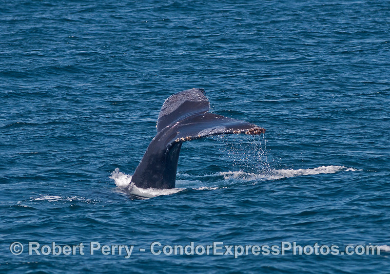 Tail flukes waterfall - humpback whale.