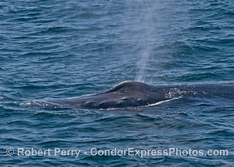 Head, knobby rostrum, and spout spray - humpback whale very close.