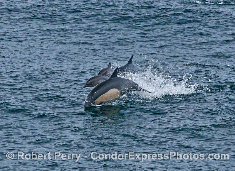 A group of leaping long-beaked common dolphins includes a calf in the middle.