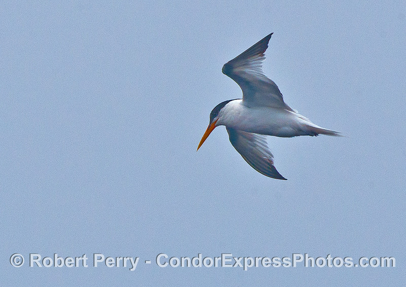 Eyes on the prize.  A hunting elegant tern.