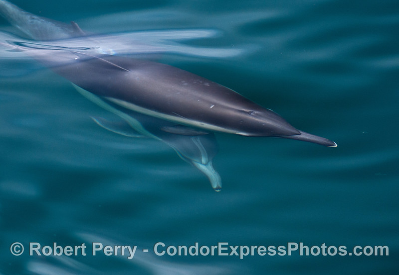 Criss-crossed long-beaked common dolphins.