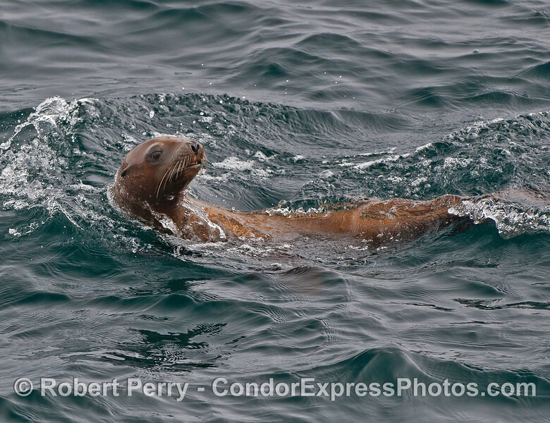 A curious California sea lion.