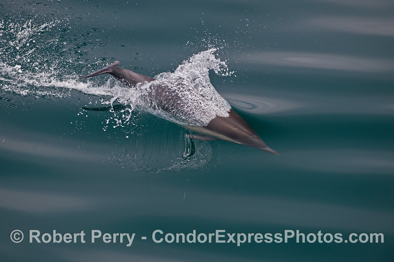 Image 3 of 3:  a leaping long-beaked common dolphin breaks glass.