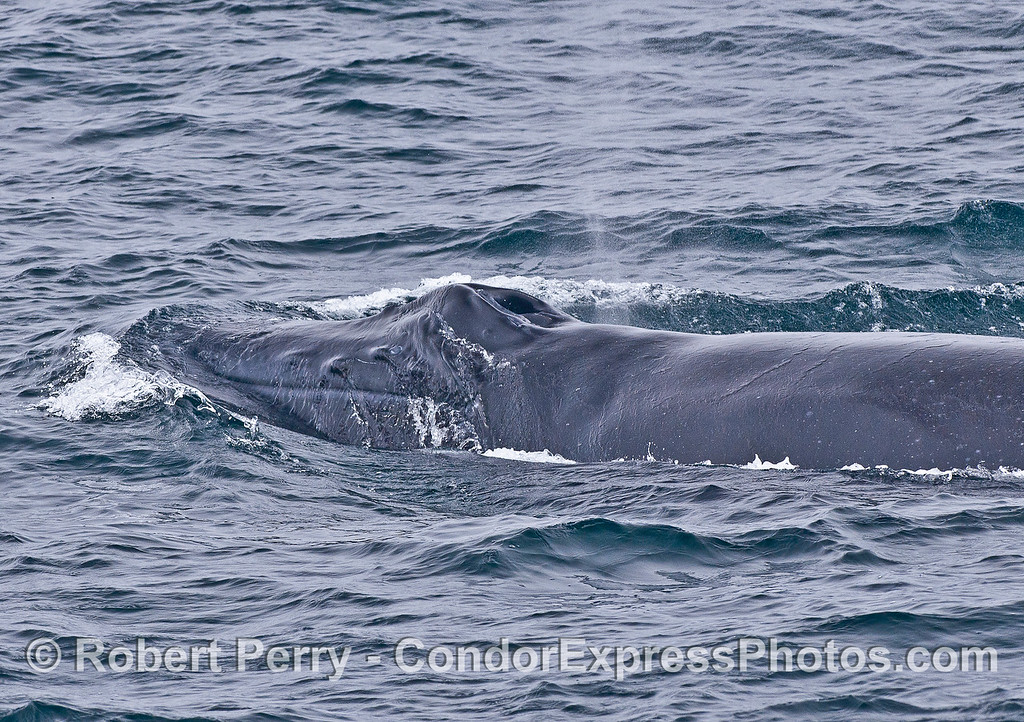 The knobby rostrum, mouth and blowholes of a humpback whale.