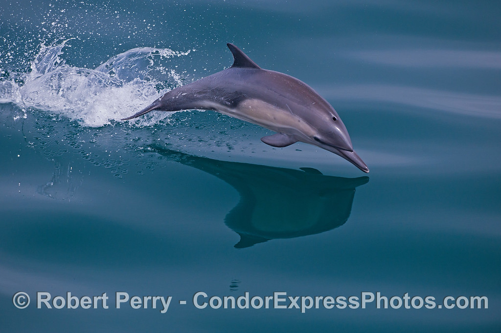 Image 2 of 3:  a leaping long-beaked common dolphin breaks glass.