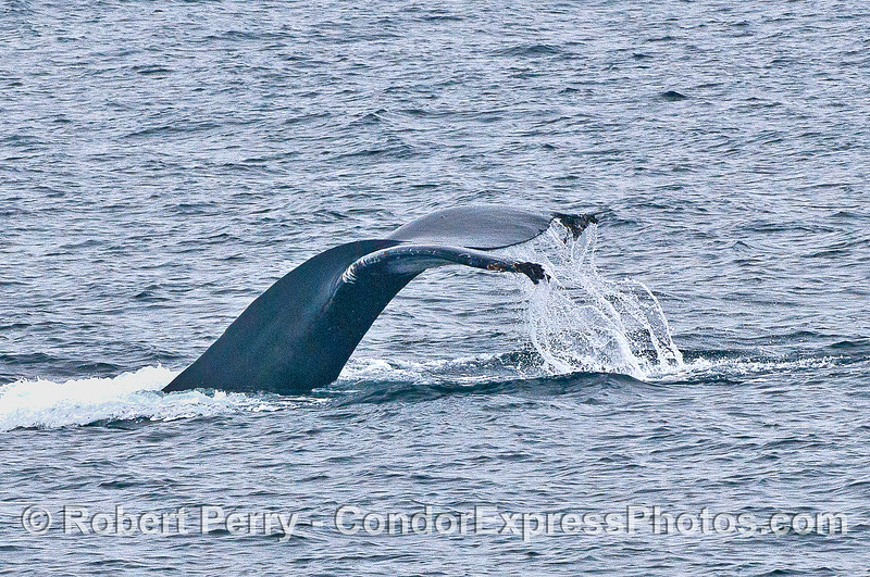 Humpback whale tail flukes waterfall.