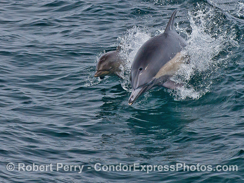A mother long-beaked common dolphin and her very young calf.