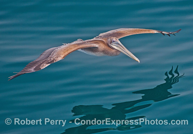 A young brown pelican soars across the glassy ocean surface.