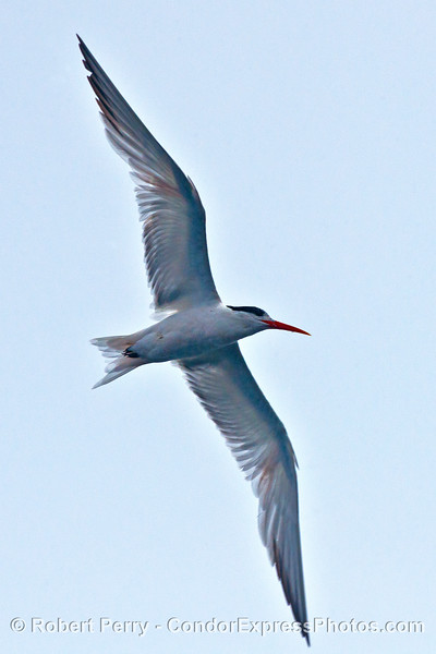 An elegant tern looking elegant while turning.  Sorry, I could not resist.