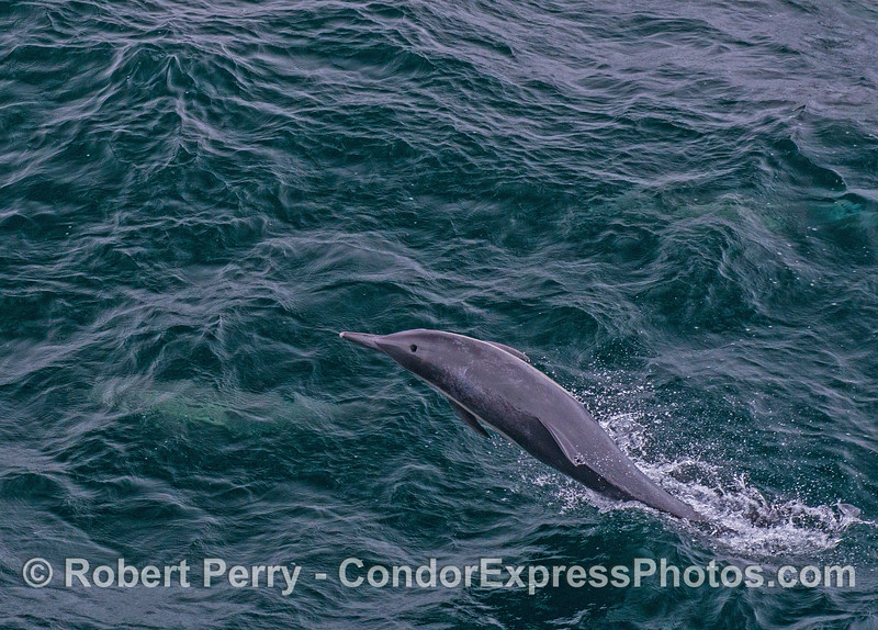 A long-beaked common dolphin takes a side-ways leap.