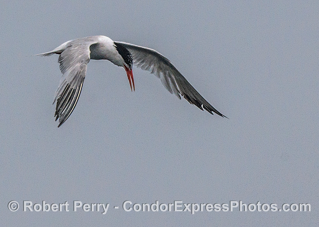 An elegant tern hovers momentarily over some bait in the water.