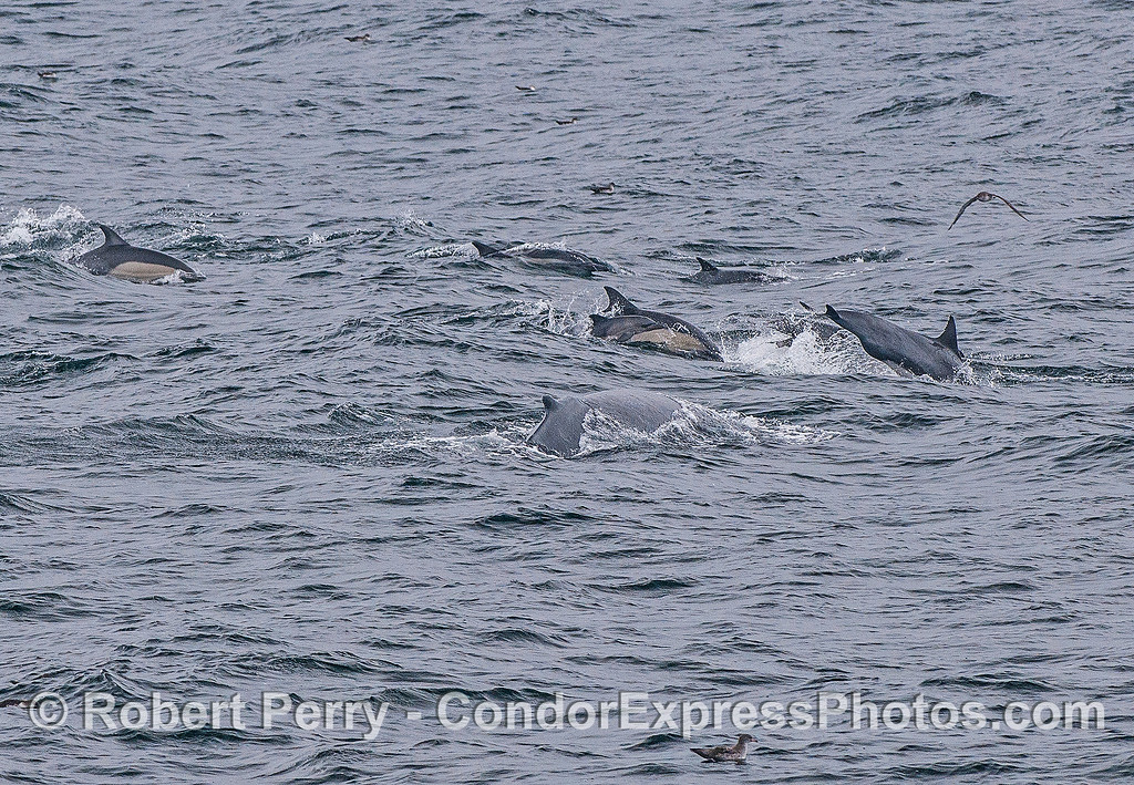 A humpback whale and its entourage of long-beaked common dolphins.