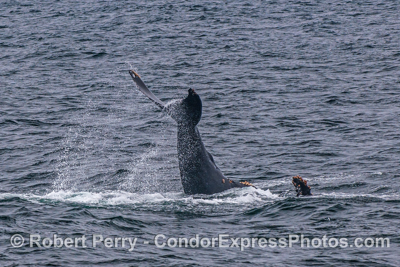 "A juvenile humpback whale slapped its tail for quite a while.  Here it is seen slapping ""upside down"" with a pectoral fin showing."