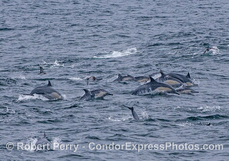 Long-beaked common dolphins on the move.
