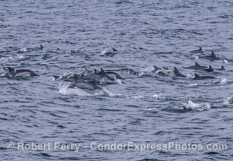 Part of a herd of long-beaked common dolphins.
