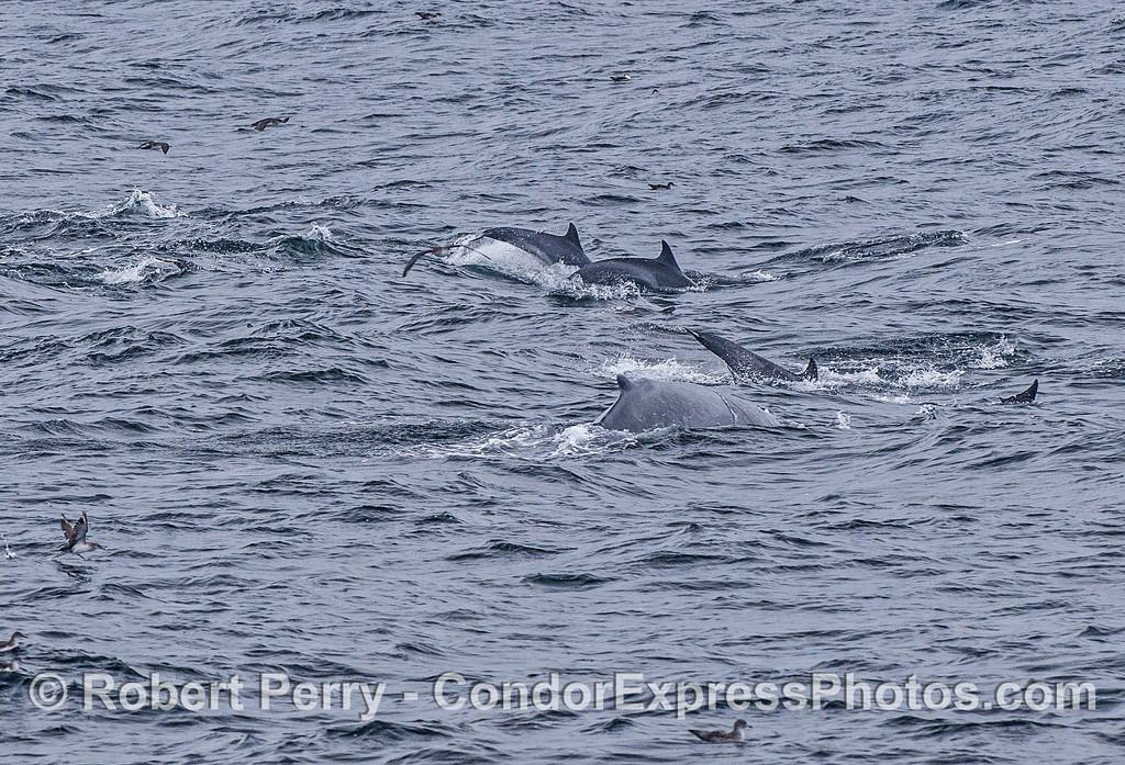 HUmpback whale and long-beaked common dolphins.