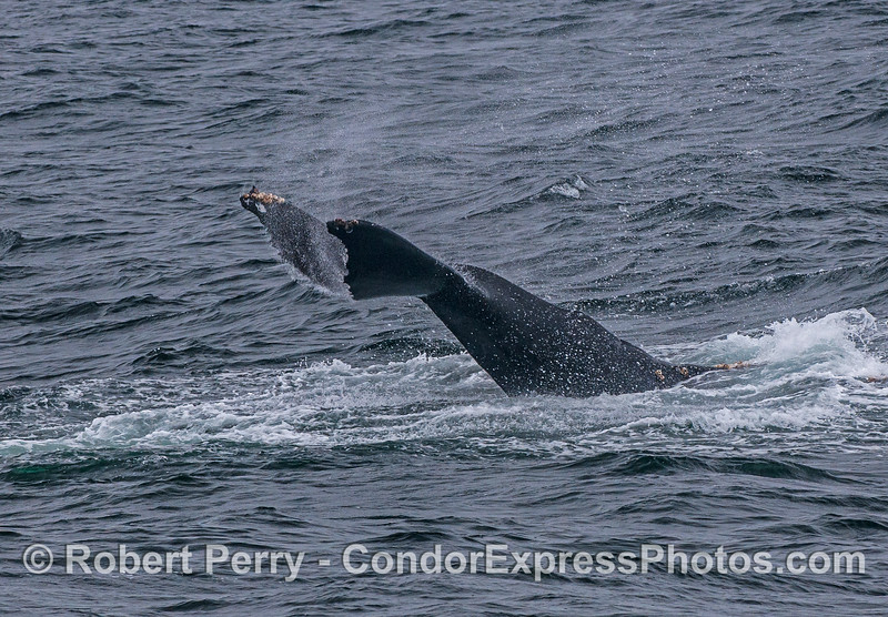 "A juvenile humpback whale slapped its tail for quite a while.  Here it is seen slapping ""upside down."""