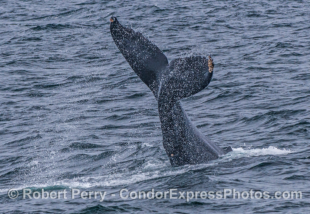 "A juvenile humpback whale slapped its tail for quite a while.  Here it is seen slapping ""right side up."""
