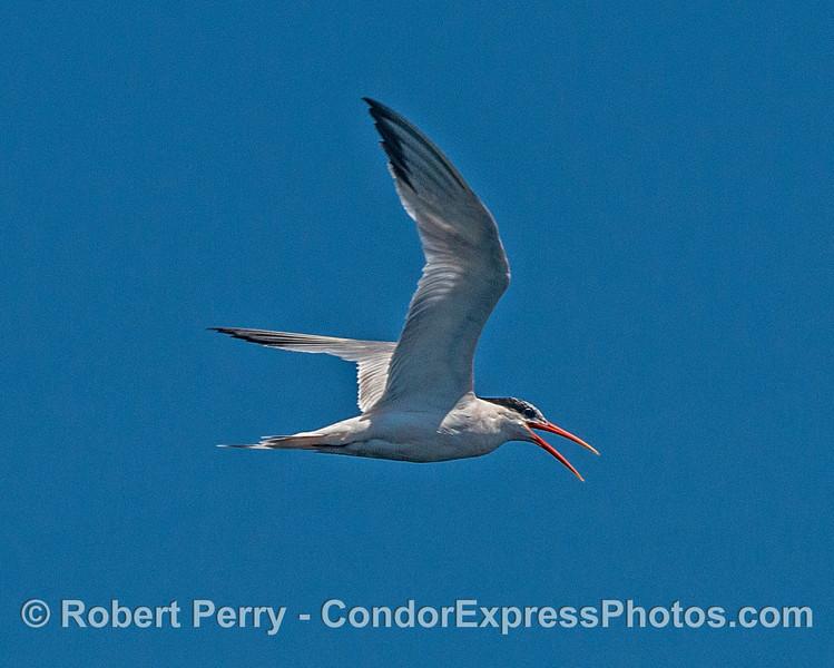 Highly vocal elegant tern