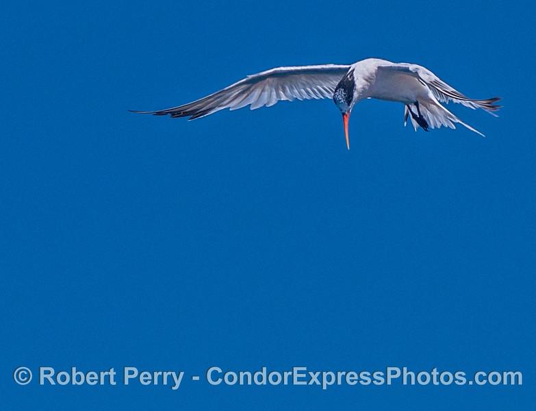 A hungry  elegant tern.