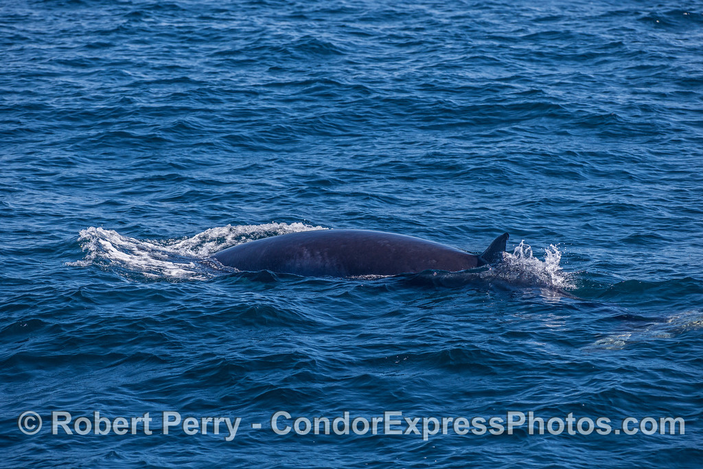 One of a pair of friendly Minke whales.