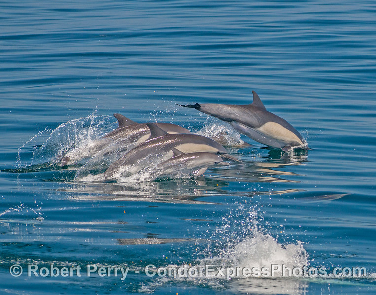 Leaping long-beaked common dolphins - the little calf is now in the foreground.