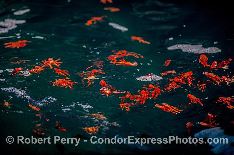 A swarm of pelagic red crabs