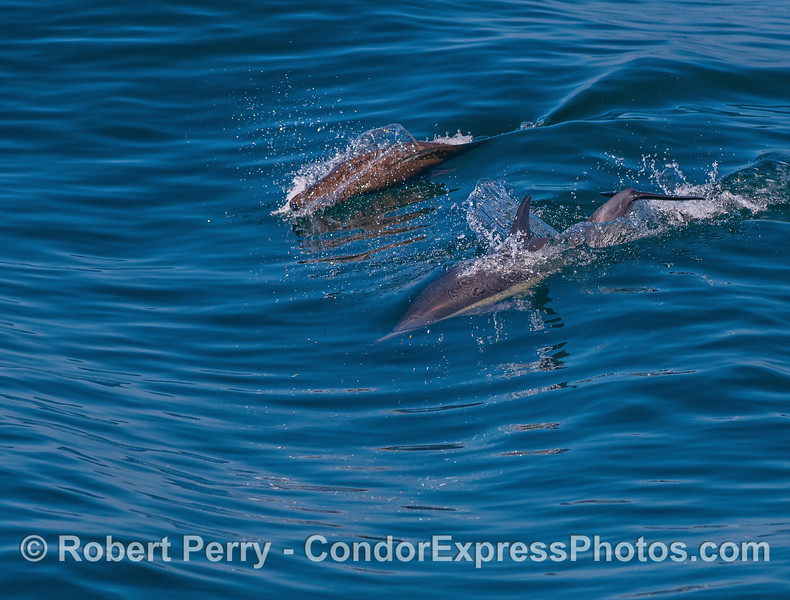 Interspecies surfing:  a California sea lion (top) surfs a small open ocean wave alongside a long-beaked common dolphin (bottom).
