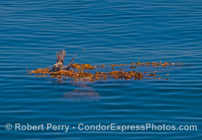 A California sea lion seeks shelter in a detached, floating giant kelp paddy