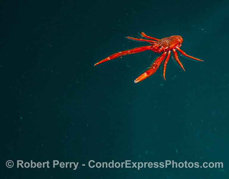 A pelagic red crab