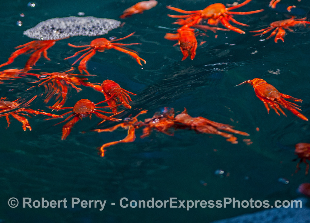 A group of pelagic red crabs