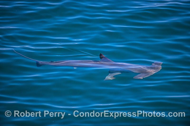 Smooth hammerhead shark enjoys the warm sun and glassy seas.